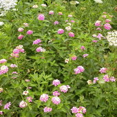 Mid Spring, Lantana and Queen Ann\'s lace,a Texas adapted plant.