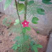 Ipomea quamoclit climbing over the Bauhinia plant