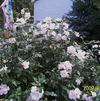 Rose of Sharon.  It's now way over 10 feet high.