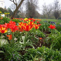 The start of spring April 2014 for one of Sara's borders. Tulips add such vibrance