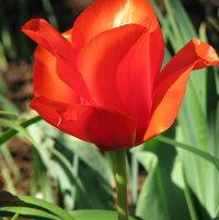 Tulip Division 14 - Greigii Casa Grand
