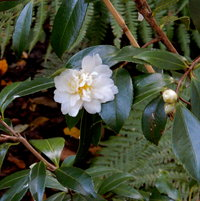 October Camellia Sansanqua Snow Flurries - started blooming end September and goes on into December.