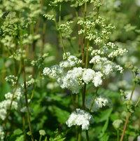 6.20.13 Filipendula ulmaria 'Flore Pleno' in bloom.