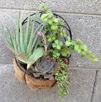 A hanging succulent basket