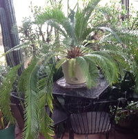 Sago palm in greenhouse purchased as seedling at phila. Flower show in 2004