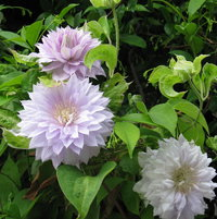 Belle Of Woking Clematis
