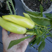 Large 'Sweet Hungarian Wax' peppers