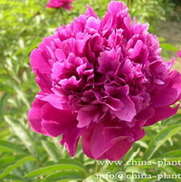 red herbaceous peony