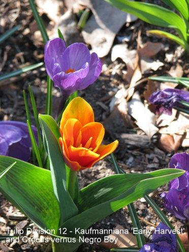 Tulip Division 12 - Kaufmanniana 'Early Harvest'