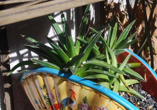 Agave victoriae reginae snow queens... suckering like mad in this pot, getting too little sun.