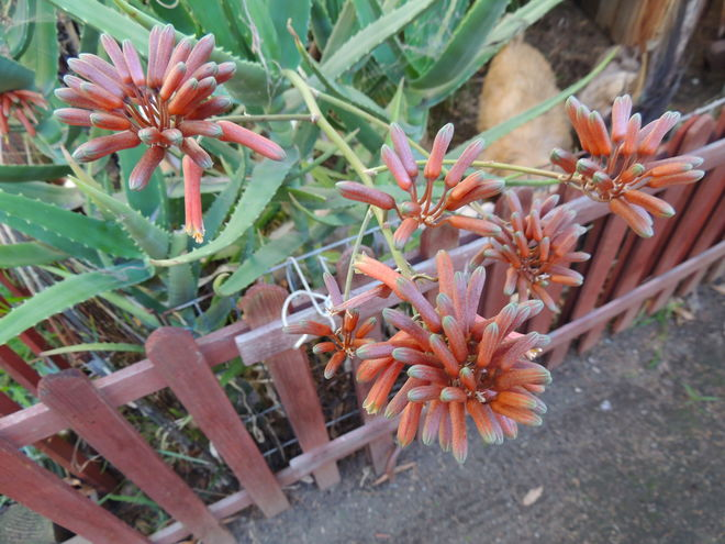 Aloe aageodonta in my own garden