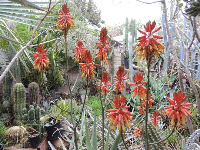 Aloe cheranganiensis flowers in December