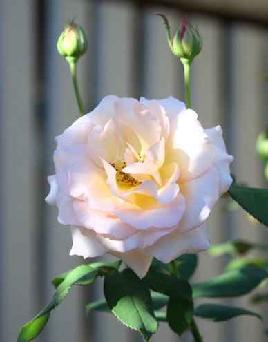 apricot nectar rose.