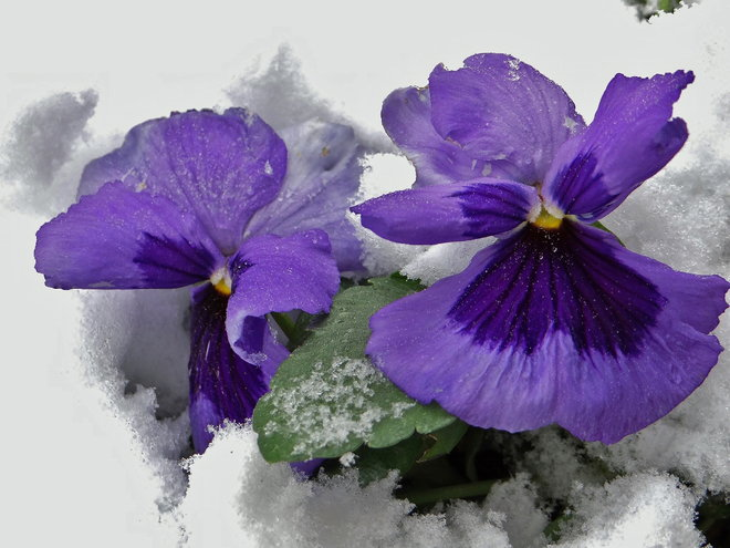Pansies in January