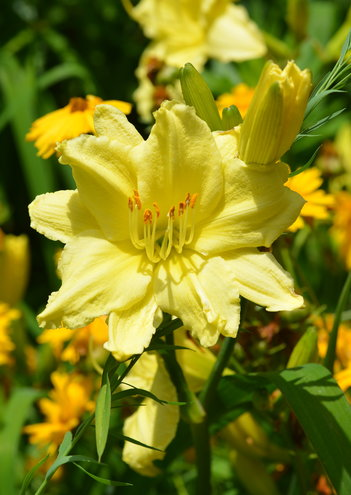 Hemerocallis double yellow