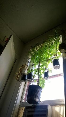 Morning glory windowshade