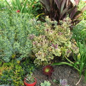 An unknown silvery euphoribia on the left, variegated hebe, a bronze canna behind it, deep green ajuga & golden sedum \'Angelina\' intermingling. The newly planted succulents were recently added to fill in and pick up all the colors of the surrounding plants.