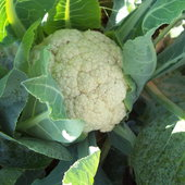 Nothing better than fresh cauliflower!