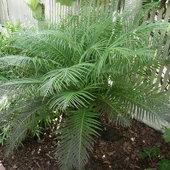 Nice Blechnum gibbum fern