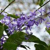 Petrea volubilis flowers up close.