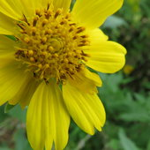 False Sunflowers.. prolific bloomers ...