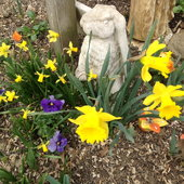 Daffodils and pansies under bird feeder