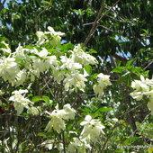 Mussaenda philippica 'Aurore' in bloom