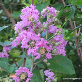 Lagerstroemia indica or Crepe Myrtle
