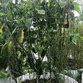 """We grow our jalapeno peppers and other plants in home made support """"cages."""""""