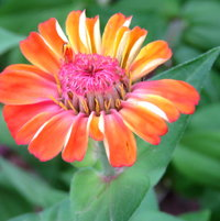 Zinnias of many colors ..
