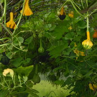 I GREW SEVERAL DIFFERENT GOURDS AND THEY RIPENED AT DIFFERENT TIMES.