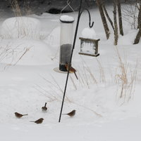 Cardinal and Western Purple Finches at the feeders in 2006