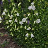 Campanula cochleariifolia 'Bavaria' in bloom in the fairy garden