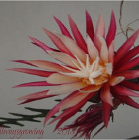 Cryptocereus anthonyanus is a night-blooming orchid cactus.  And, it has a wonderful scent, too!