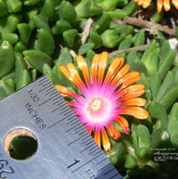 Delosperma 'Fire Spinner' produces eye-catching 1 inch blossoms.
