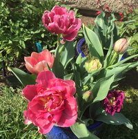 Double tulips, in pot