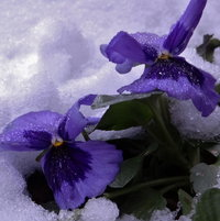 Pansies in Northeast PA 1-16-13