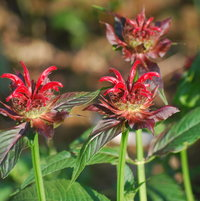 The hummingbirds are loving Bee Balm this year!