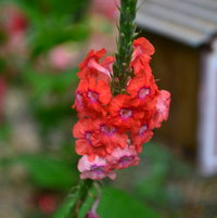 Scarlet porterweed