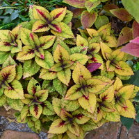 Fall Coleus plant