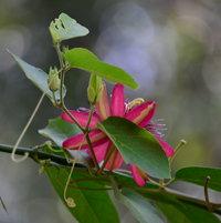 Back of Lady Margaret Passiflora