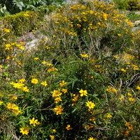 Mexican Marigold (Tagetes lemmonii)