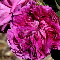 Gallica Rose 'The Bishop'