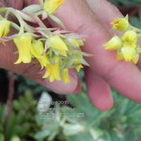 Flowers of Echeveria pulidonis blue form (right) are diminutive compared to those of the green form (left).