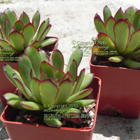 "Three young Echeveria pulidonis (green form) grown under ""pampered"" conditions."