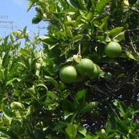 Our orange tree is producing fruit that will be ready for picking in late winter 2016.