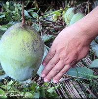 Giant Mango fruit
