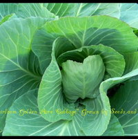 Heirloom Cabbage growing at Seeds and Things Farm