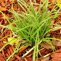 Dwarf Ferry Grass, Othiopogon Japonicus