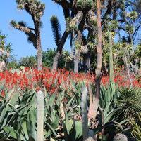 Yucca filiferi and aloes